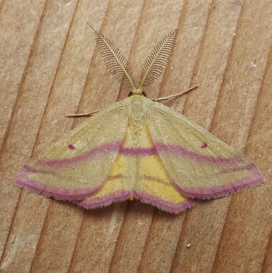 Geometridae: Haematopis grataria - Haematopis grataria - male