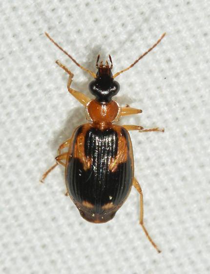 beetle061719-22 - Lebia