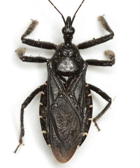 Apiomeris longispinis Champion - Apiomerus longispinis