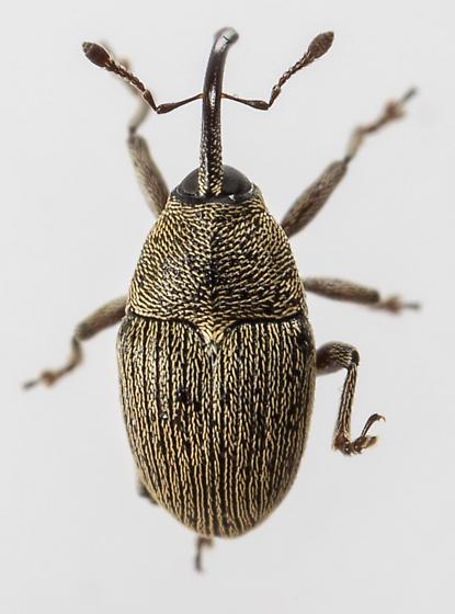 Weevil - Geraeus picumnus
