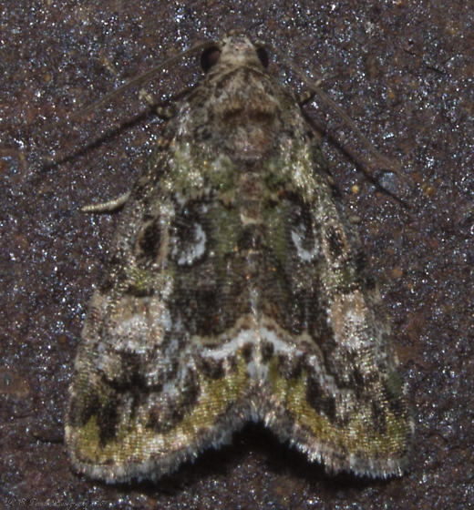 Small Mossy Lithacodia  - Lithacodia musta