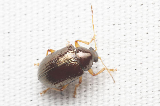 round chrysomelid - Rhabdopterus