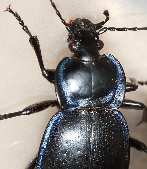 Ground Beetle - Carabus sylvosus - female