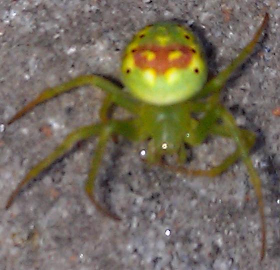 Little colorful spider - Araneus cingulatus