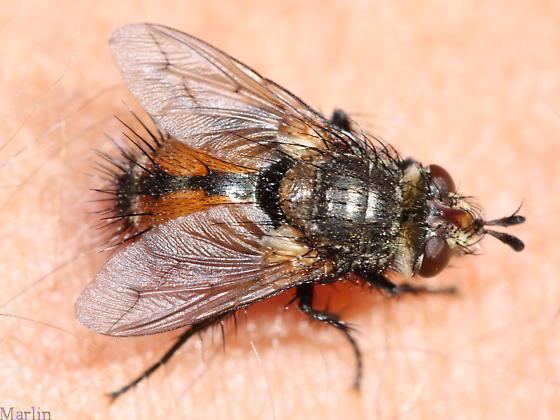 Tachinid - Peleteria