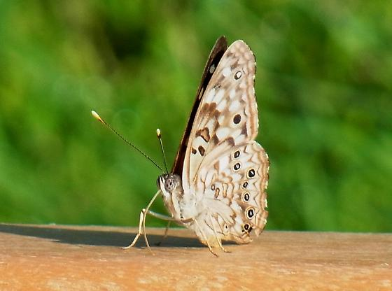 Pearly-eye? - Asterocampa celtis