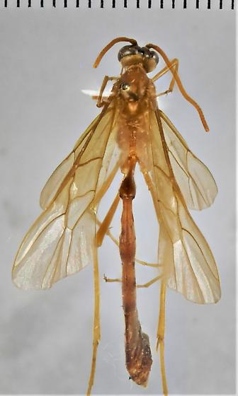 Enicospilus americanus - female