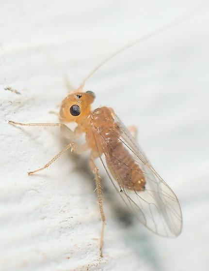 Hemipsocus chloroticus? - Hemipsocus chloroticus