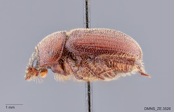 Parochodaeus_pectoralis_ZE.3526_lateral - Parochodaeus pectoralis