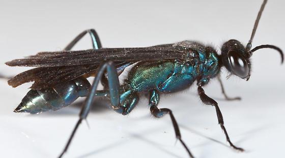 Large Blue Wasp - Chalybion californicum - female