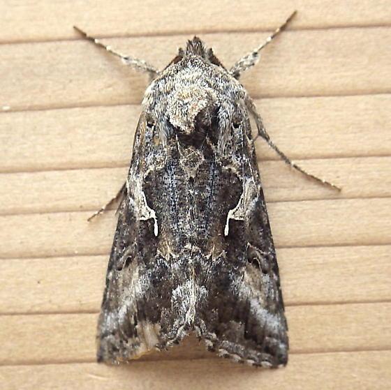 Noctuidae: Autographa californica - Autographa californica