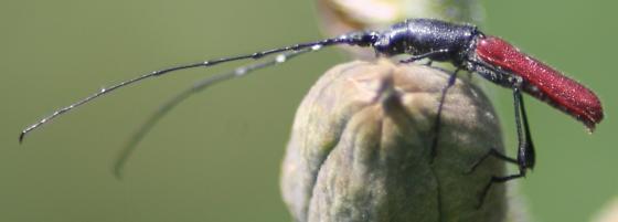 Long-horned Beetle - Ancylocera bicolor