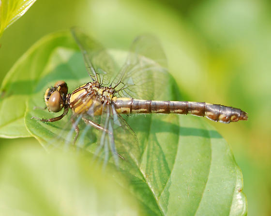 Teneral female - Ophiogomphus howei - female