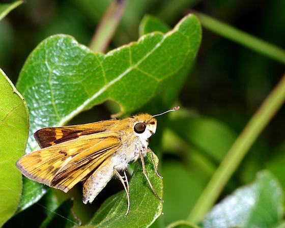 Southern Skipperling? - Hylephila phyleus - female