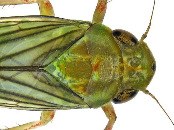 Neocoelidia? - Coelella distincta