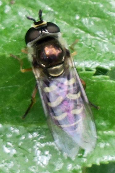 Syrphini - Eupeodes volucris - female