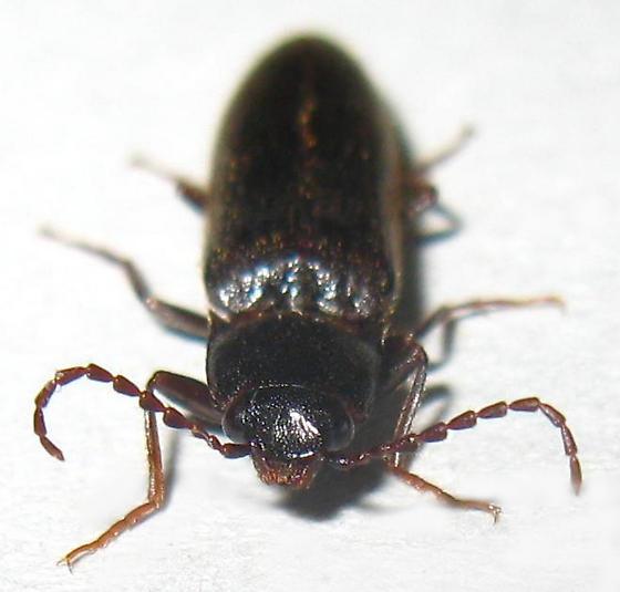 Click Beetle - Hemicrepidius falli