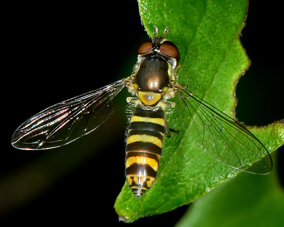 Unknown hoverfly (Syrphidae) - Fazia micrura