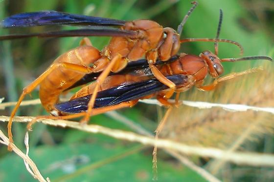Polistes carolina - male - female