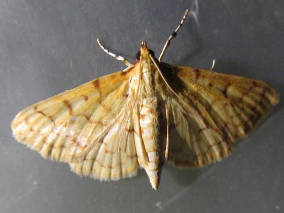 Small unknown moth - Polygrammodes flavidalis
