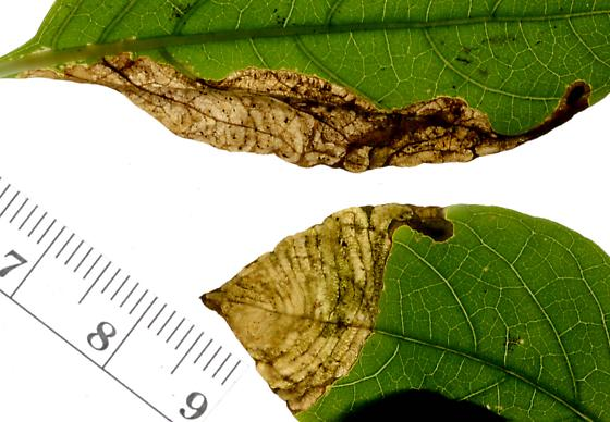 Fly blotch mine in Ruellia strepens - Liriomyza blechi