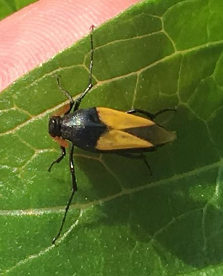 Unknown insect - Macrosiagon flavipennis
