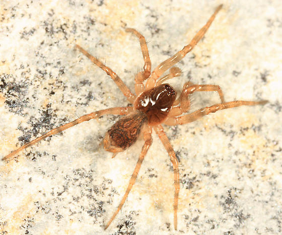spider - male