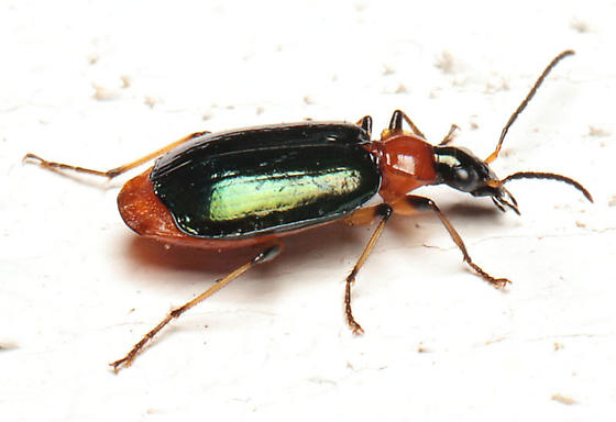 Beetle - Lebia viridipennis