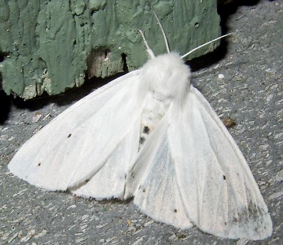 Virginian Tiger Moth - Spilosoma virginica