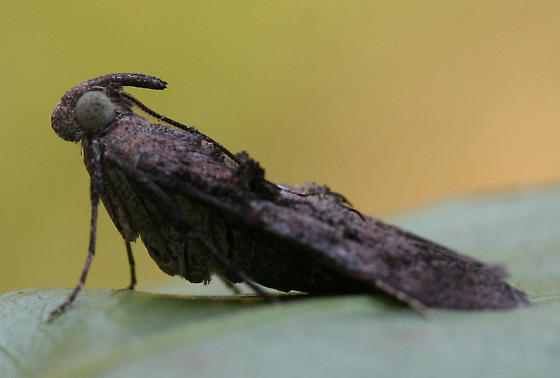 One of the Loopers? - Pococera robustella