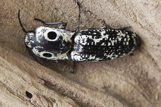 Eyed Click Beetle - Alaus lusciosus