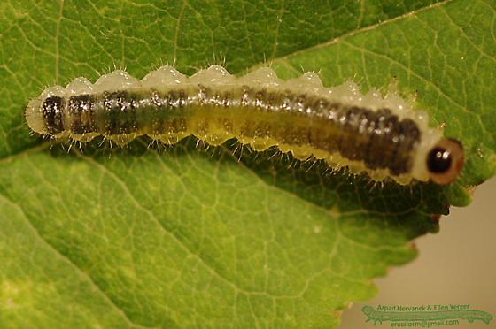 Priophorus caterpillar - Priophorus