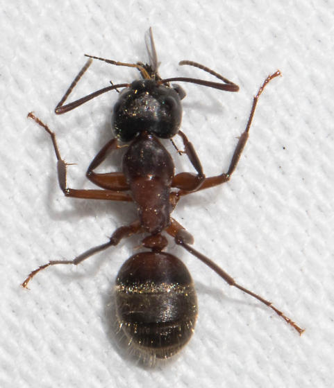 Ant with prey - Camponotus chromaiodes