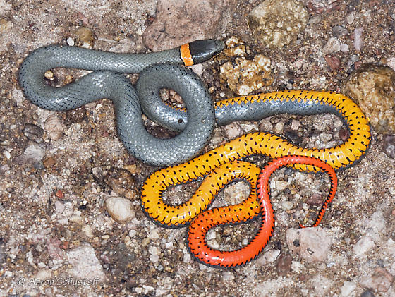 Colorful underside of Ring-Necked Snake
