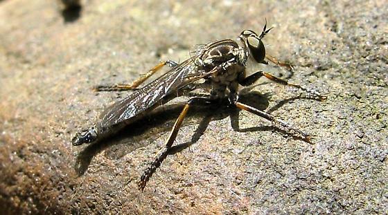 Philonicus fuscatus - male