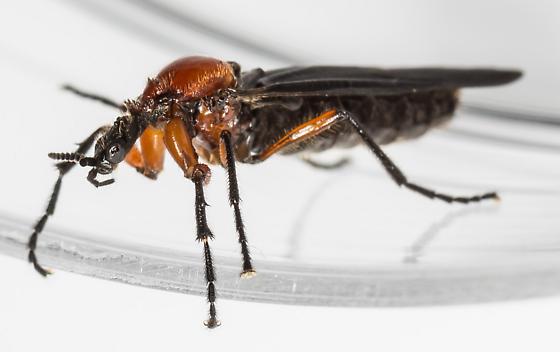 Fly - Dilophus - female