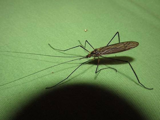 FEELERS like a cricket! - Hexatoma