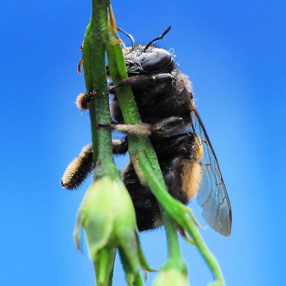 Black Bee - Xylocopa tabaniformis