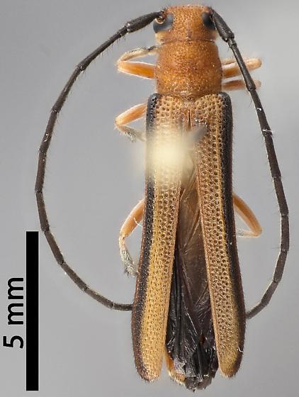 Oberea gracilis