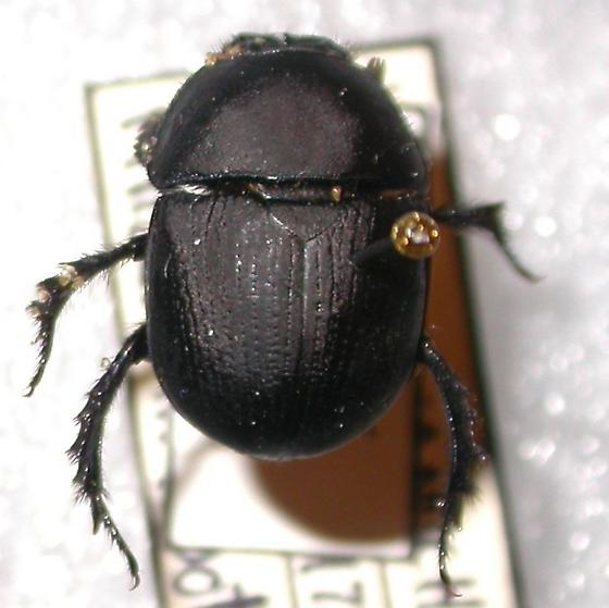 Geotrupes opacus