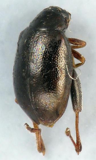 tiny jumper - Longitarsus melanurus