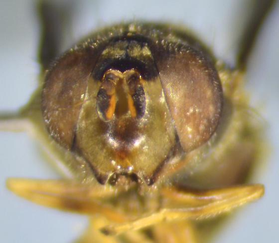 Syrphid - Ferdinandea - female