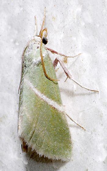 moth - Anemosella obliquata