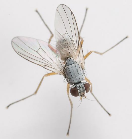 Fly - Coenosia - male