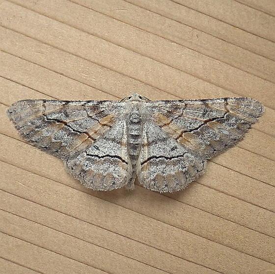 Geometridae: Stenoporpia pulmonaria - Stenoporpia pulmonaria