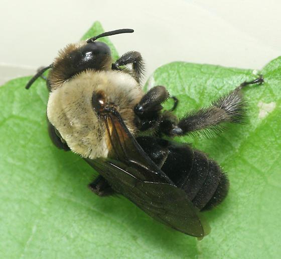 Bee half sideways - Ptilothrix bombiformis