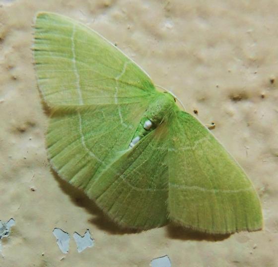 White-fringed Emerald? - Nemoria mimosaria - female