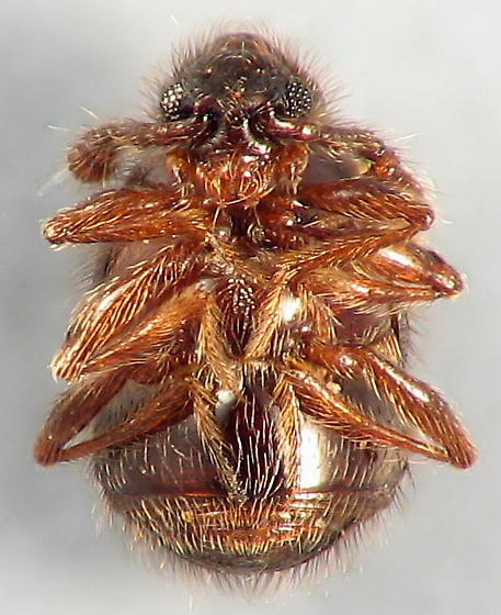 Pselaphinae - Ant-loving Beetle - Decarthron - male