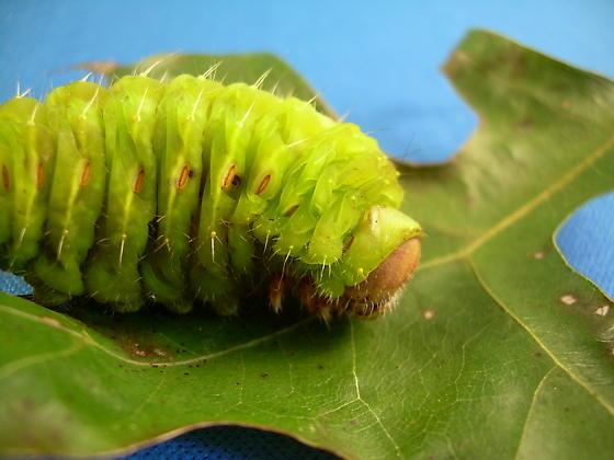 Fat Caterpillar Needs ID - Antheraea polyphemus