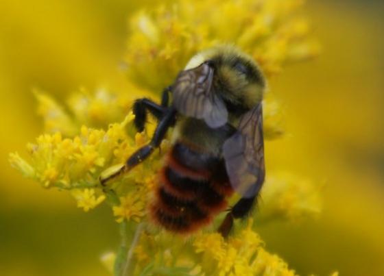 Bumblebee  - Bombus rufocinctus - male
